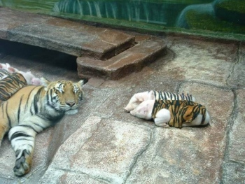 tiger-pork1
