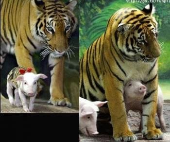 tiger-pork4
