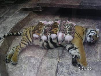 tiger-pork2