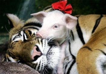 tiger-pork3
